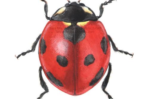ladybug scientific illustration