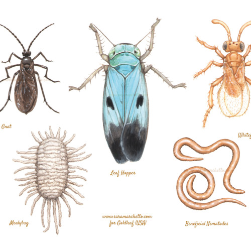 Series of illustrations of beneficial insects for organic farming. Gouache on paper and digital retouch.